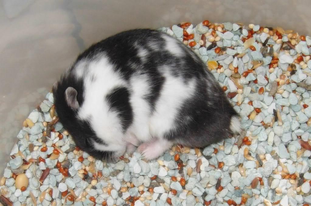 Hobby pet mengapa hamster spesiale pojokane - Hamster russe panda ...
